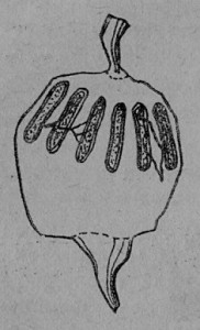 Шесть ректальных желез на мешочке с экскрементами.