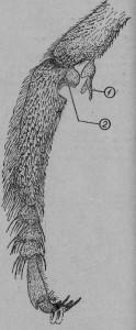 Функциональные устройства на передней паре ног у рабочей пчелы: 1 - перепончатый выступ, 2 - выемка на заднем верхнем краю пятка со щеточкой.