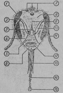 Голова пчелы: 1 - сложный глаз, 2 - сустаd усика, 3 -лоб, 4 - щека, 5 - лобный щиток, 6 - че люсть, 7 - простые глаза, 8 - темя, 9 - эпикраниальный шов, 10 - стволик, 11 - жгутик усика, 12 - верхняя губа, 13 - щупальцы нижней губы, 14 - язычок, 15 - ложечка язычка.