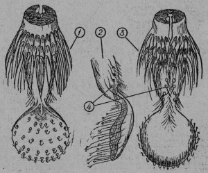 Ложечка на конце язычка рабочей пчелы: 1 - вид сверху, 2 - вид сбоку, 3 - вид снизу, 4 - вкусовые сосочки.