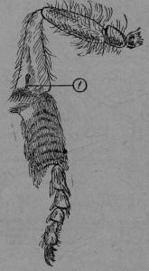 Отдельные волоски на дне пыльцевой корзиночки (1).