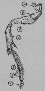 Передняя нога рабочей пчелы: 1 - коготки с подушечкой, 2 - членики лапки, 3 - лапка, 4 - голень, 5 - бедро, 6 - вертлуг, 7 - кокса(тазик).