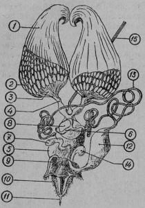 Половые органы матки: 1 — яичник, 2 — яйцевые трубочки, 3 — чашечки яичника, 4 — яйцевод, 5 — стенка влагалища, 6 — железа семяприемника, 7 — малая ядовитая железа, 8 — семяприемник, 9 — мышцы жала, 10 — стилеты жала, 11 — жало, 12 — резервуар яда, 13 — большая ядовитая железа, 14 — избыток мешочка с экскрементами, 15 — нерв под парными яйцеводами.