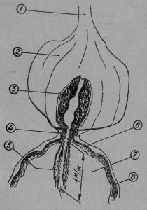 Рис. 19. Промежуточная кишка: 1 —глотка, 2 — медовый зобик, 3 — продольные мышцы промежуточной кишки, 4 — шейка промежуточной кишки, 5 — рукав промежуточной кишки, 6— мышцы желудка, 7 — желудок, 8 — перитрофическая мембрана желудка